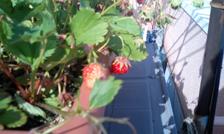 strawberry2051610