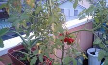 tomato070210