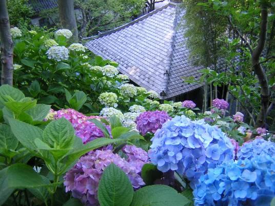 鎌倉長谷寺のアジサイ写真
