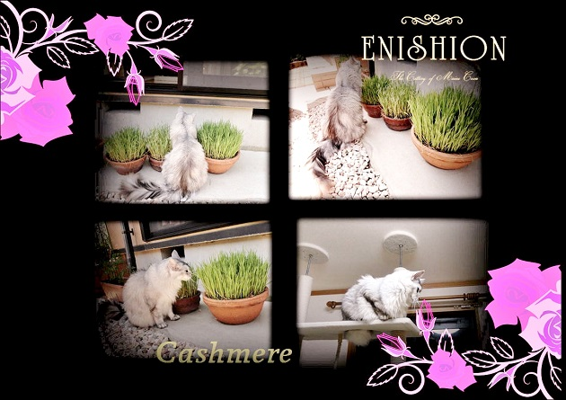 Cashmereさん猫草