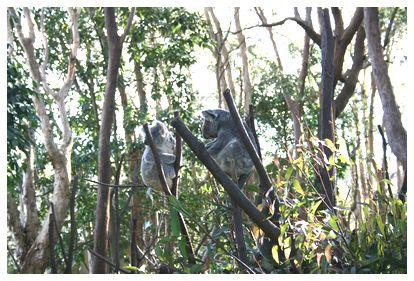 コアラたち。