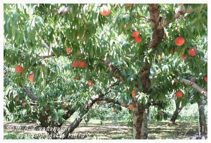 桃いっぱい。