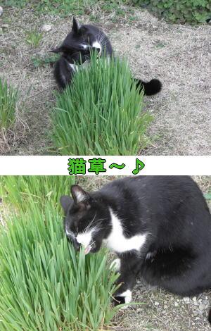 猫草ムシャムシャ