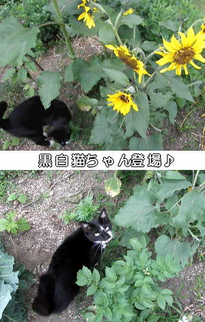 ヒマワリと猫