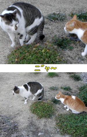 迷い猫VS茶トラ白猫