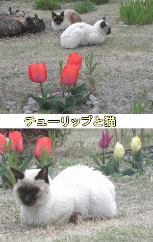 チューリップとシャム猫