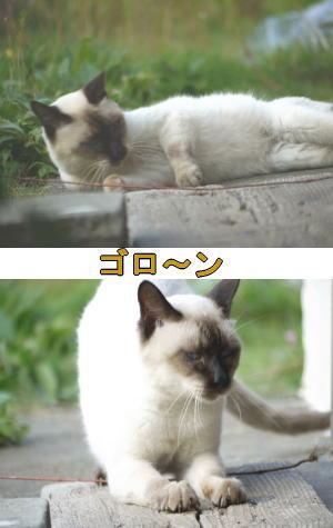 シャム猫♂