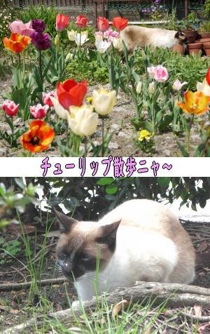 シャム猫♀