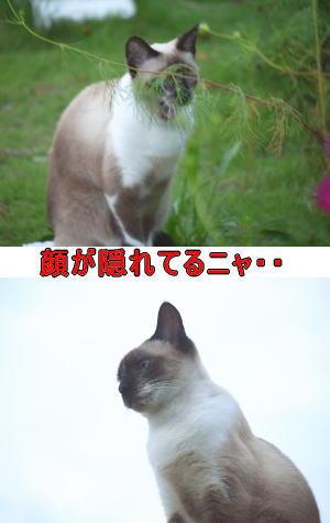 シャム猫♀ちゃん