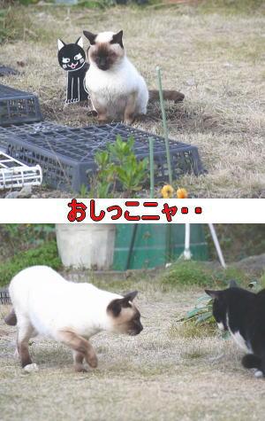 シャムネコ♂