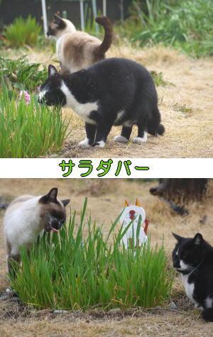 シャムネコ♀