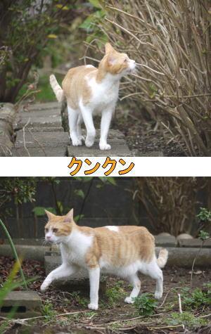 茶トラ白猫ちゃん♂