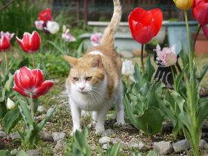 チューリップ猫