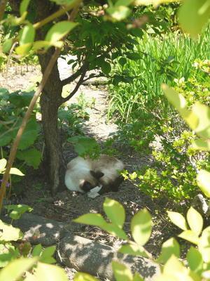 日影で昼寝猫