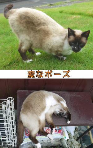シャム猫ちゃん♀