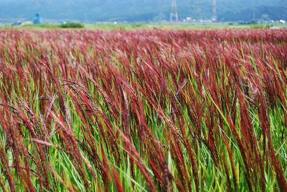 能登古代米の赤米の稲穂
