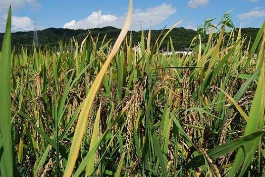 能登古代米の黒米の稲穂