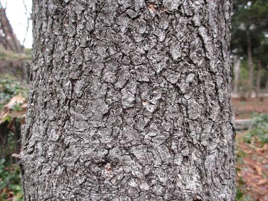 栃の木の幹