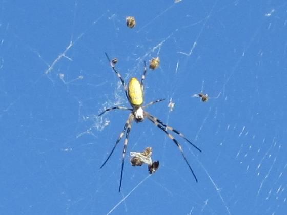 2013-09-27_1551_右舷スプレッダー下に女郎蜘蛛の巣_IMG_5059_ts.JPG
