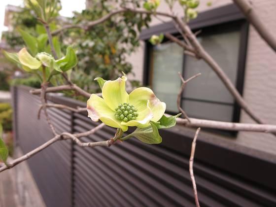 2015-04-09_1028_ハナミズキ_IMG_2575_s.JPG