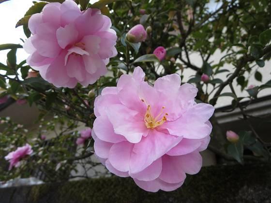 2015-11-11_1012_サザンカ_IMG_6213_s.JPG