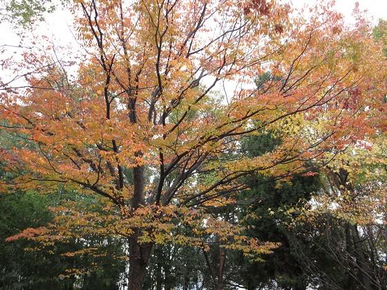 2016-11-28_1125_ケヤキ_IMG_5858_s.JPG