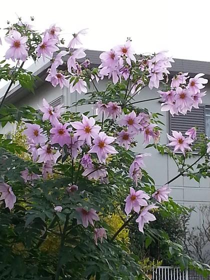 2016-12-04_08.50.35_皇帝ダリア_s.jpg