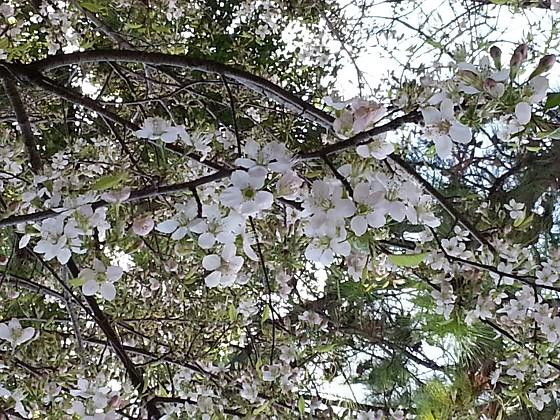 2016-12-04_09.23.20_ヒマラヤザクラ_s.jpg