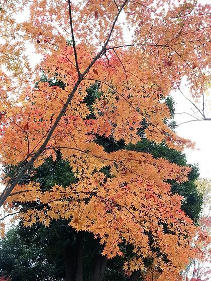 2016-12-04_09.18.28_ヤマモミジ_s.jpg