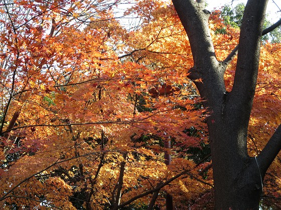 2016-12-09_1043_ヤマモミジ紅葉_IMG_6871_s.JPG