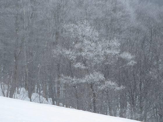 2017-02-24_0959_ハンの木第3クワッドリフトから木々に霧氷_IMG_8143_s.JPG
