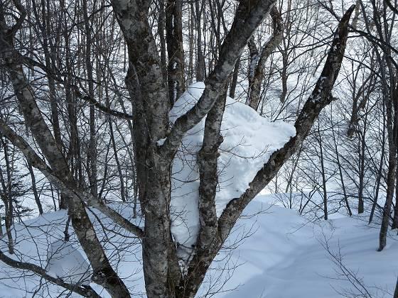2017-02-24_1220_ハンの木高速ペアリフト横のハンの木三股の雪_IMG_8178_s.JPG