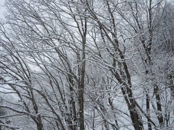 2017-02-27_0846_白樺クワッドリフト横の木々が雪で白くなった_IMG_8318_s.JPG