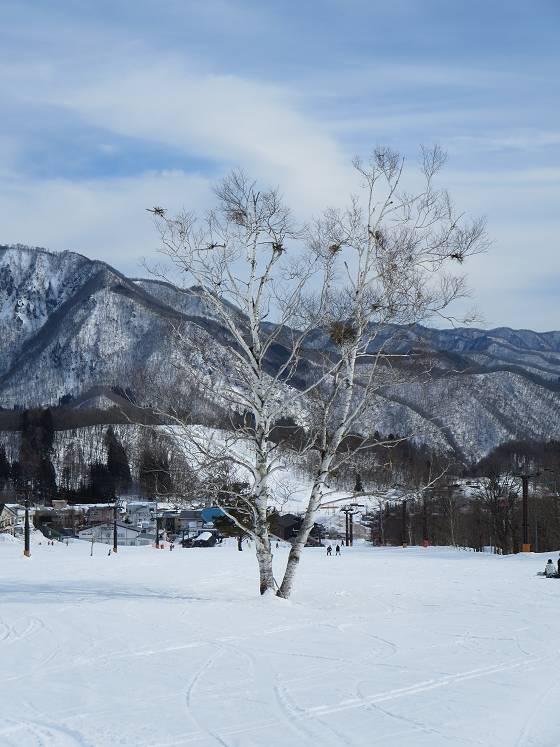 2017-03-01_1406_からまつゲレンデ中央の白樺の大木_IMG_8472_s.JPG