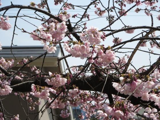 2017-03-20_1130_カンザクラ_IMG_8749_s.JPG