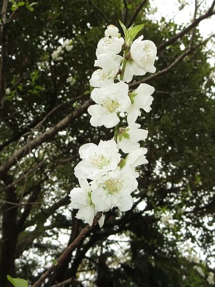 2017-03-25_1358_ハナモモ_IMG_8835_ts.JPG