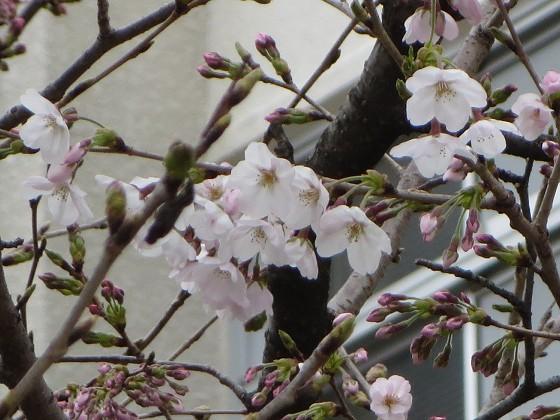 2017-03-31_1002_サクラ・園田学園_IMG_8918_ts.JPG