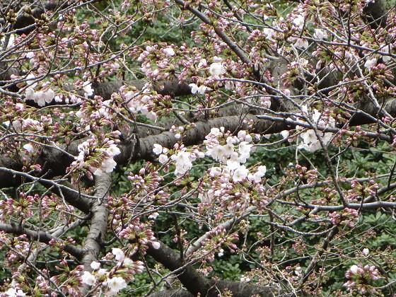 2017-04-01_1226_サクラ(西公園)_IMG_8964_ts.JPG