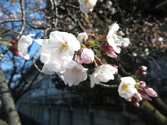 2017-04-03_0922_サクラ_IMG_8999_s.JPG