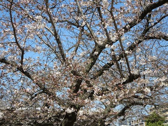 2017-04-03_0932_サクラ_IMG_9005_ts.JPG