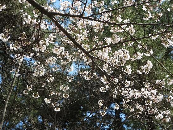 2017-04-03_1036_サクラ_IMG_9029_s.JPG