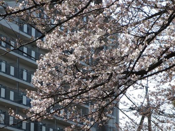 2017-04-03_1048_サクラ_IMG_9042_s.JPG