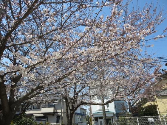 2017-04-04_1034_サクラ_IMG_9096_s.JPG