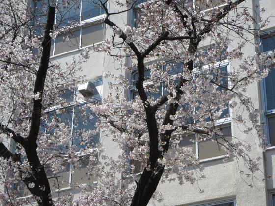 2017-04-04_1054_サクラ・園田学園_IMG_9115_s.JPG
