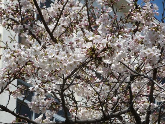 2017-04-04_1055_サクラ・園田学園_IMG_9116_s.JPG