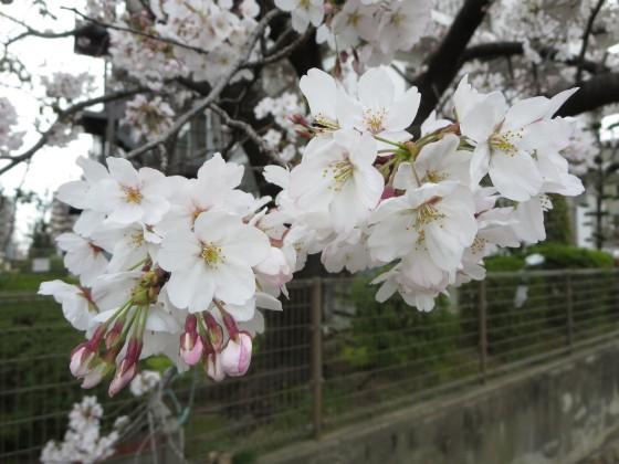 2017-04-06_1004_桜_IMG_9175_s.JPG