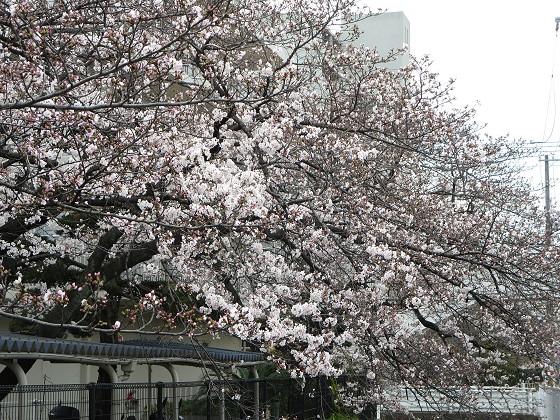 2017-04-06_1005_桜_IMG_9176_s.JPG