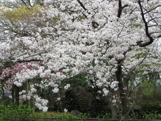 2017-04-06_1112_桜_IMG_9195_s.JPG