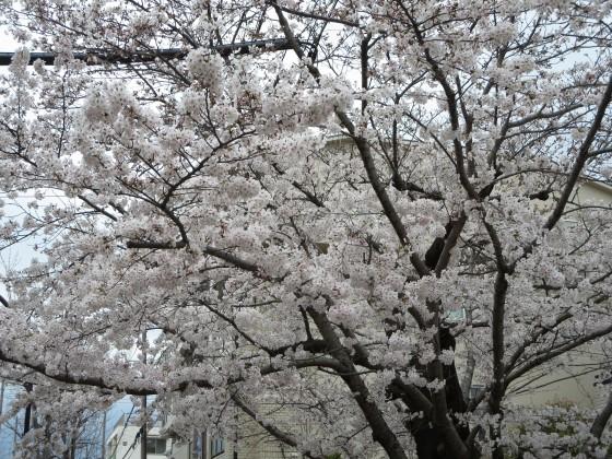 2017-04-06_1121_桜_IMG_9202_s.JPG