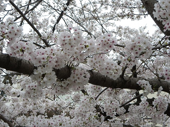2017-04-06_1122_桜_IMG_9204_s.JPG